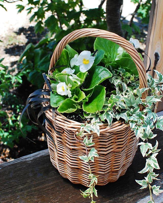 #夏に強い花 煮柳のワンハンドルバスケットが可愛いので、夏の寄せ植え作りました。夏の暑さや乾燥に強いベゴニアは真夏の青空に良く似合う夏の花な王道ですよね#ベゴニア#ヘデラヘリックス#コクリュウ#寄せ植えバスケット#メデルガーデン #光葉園