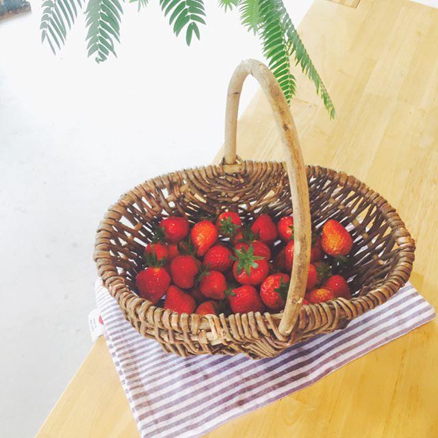 #ポタジェ#いちご#メデルガーデンの小さな庭の一角で、いちごが採れました少し酸っぱいけれど、自分で作って収穫した野菜はそれだけで嬉しいものなのです#初めてのいちご栽培#メデルガーデン #jardin #portager#strawberry