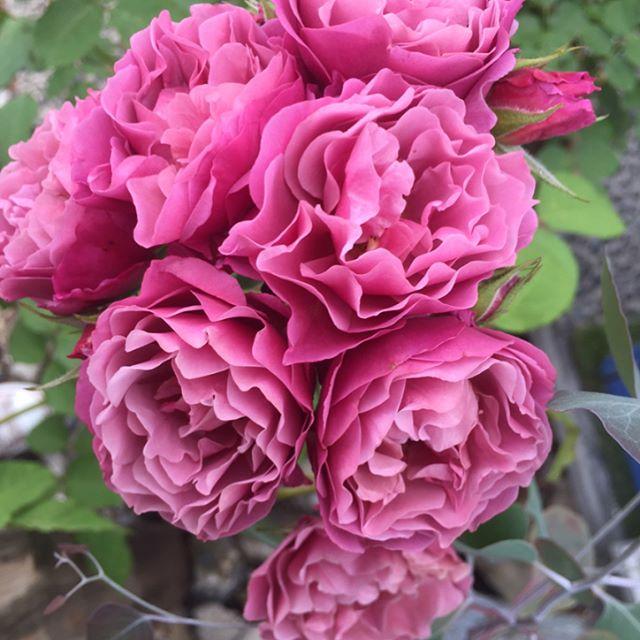 #和バラ#あおい#國枝さんのバラいつの間にどばっと一気に咲き誇りました。連日続いた真夏日がバラの開花を促したのかな?まるでブーケのように集まって咲く姿が可愛いのです。バラの横を通り過ぎる度にキュンと胸が高鳴ります #バラの季節#メデルガーデン #光葉園 #ニュアンスカラー