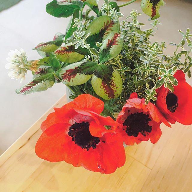 #アネモネマリメッコのウニッコはアネモネをモチーフにデザインされていると思っていますが、そうなのでしょう?ね。アネモネは球根だから、また来年も春に出会えるからお得な気分♬今年はこれが最後の生ウニッコ。#メデルガーデン #春の花#五月の花