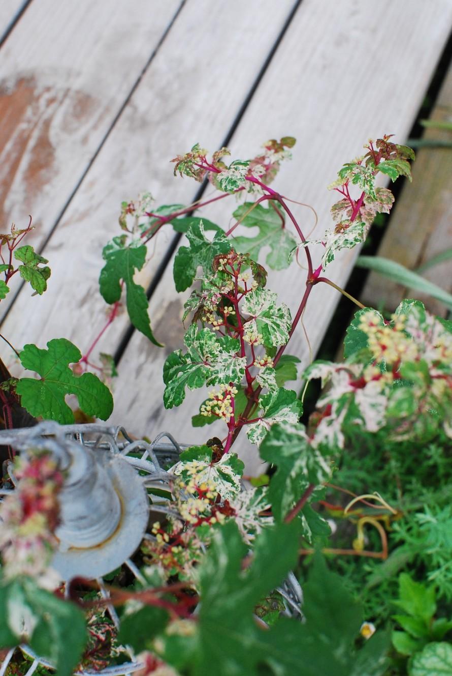 斑入りノブドウ エレガンス