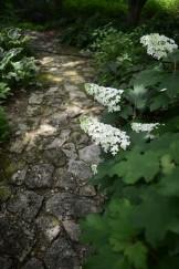 日陰の庭にカシワバアジサイ