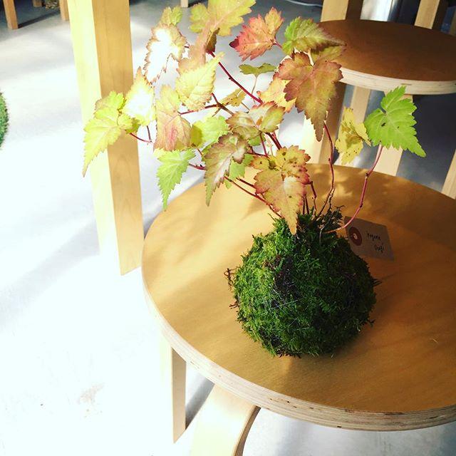 #コゴメウツギ紅葉する姿が愛おしい苔玉、コゴメウツギ。コゴメウツギは小米空木と書きます。初夏に小さな小米、小さく砕いた花をつけることからその名がつくようです。#メデルガーデン #光葉園