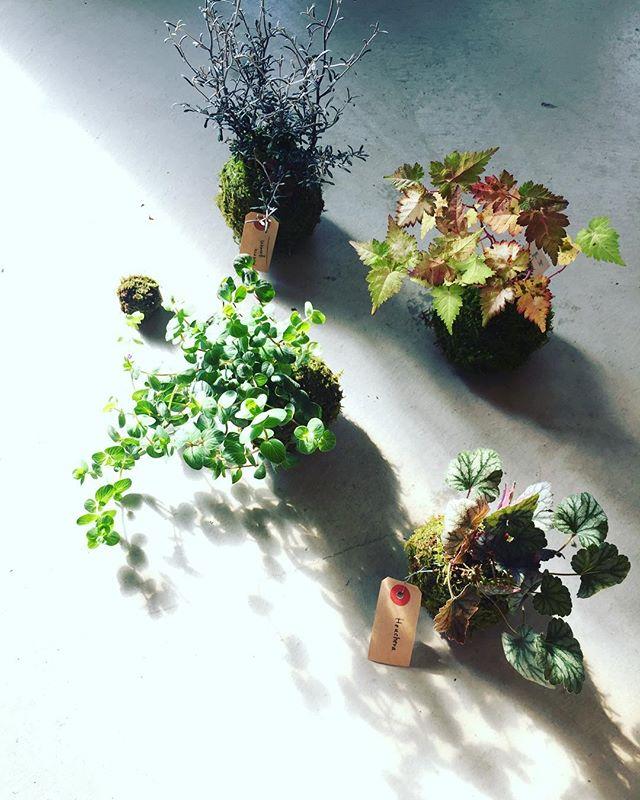 #苔玉今度苔玉を作りに来てください♡との素敵なお誘いを頂きまして、苔玉サンプルつくりました。これからの季節は苔にとっては過ごしやすい季節です。夜露朝露にしっかりと当てて、程よく日光浴もさせてあげると、美しく苔玉が育ちます。#コロキアコトネアスター #コゴメウツギ#オレガノ#ヒューケラ#メデルガーデン #光葉園