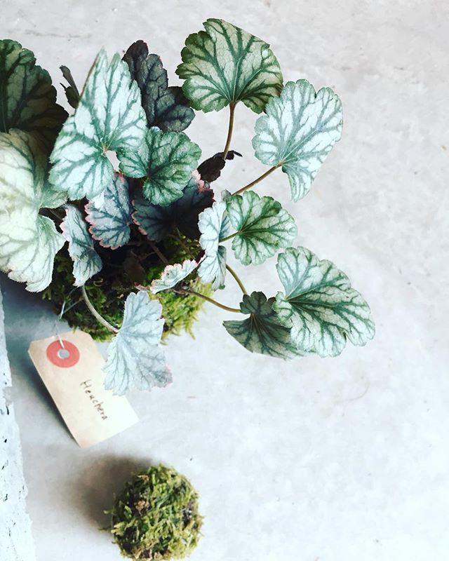 #ヒューケラ#ツボサンゴヒューケラの苔玉。ヒューケラは色々な色や形が豊富なので、いつもどの子が良いかと迷いがちですが、だいたいはこの色味が好きです♡#メデルガーデン #光葉園