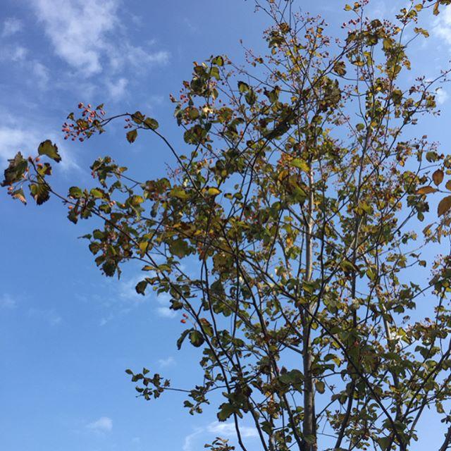 #アズキナシ#暴風。せっかくの紅葉も散ってしまって、あっという間に秋までもが行ってしまいそうな秋晴れの今日です。アズキナシが可愛い季節です。#おすすめの雑木#落葉樹#光葉園 #メデルガーデン