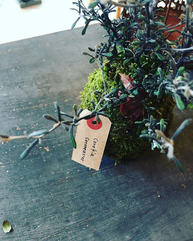 #コロキアコトネアステル またまた苔玉つくりました。コロキアコトネアステル、#コロキアコトネアスターという、渋い色の葉や枝をもつ常緑の低木樹です。この子を育てるのは初めて♡わくわくします。#メデルガーデン #光葉園