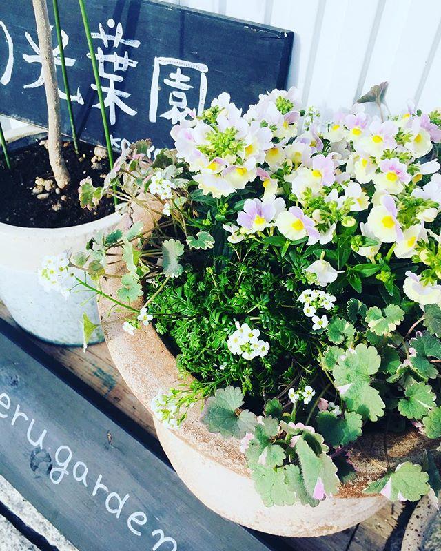 #春の寄せ植えネメシアはピンクレモネードという爽やかさ抜群の子をチョイスして、ハートの葉が可愛らしいグレコマを散りばめて。アリッサムのような小さな白い小花は、フチンシアアイスキューブというものです。新しい品種のようです。#ネメシア#グレコマ#フチンシアアイスキューブ#メデルガーデン#mederugarden