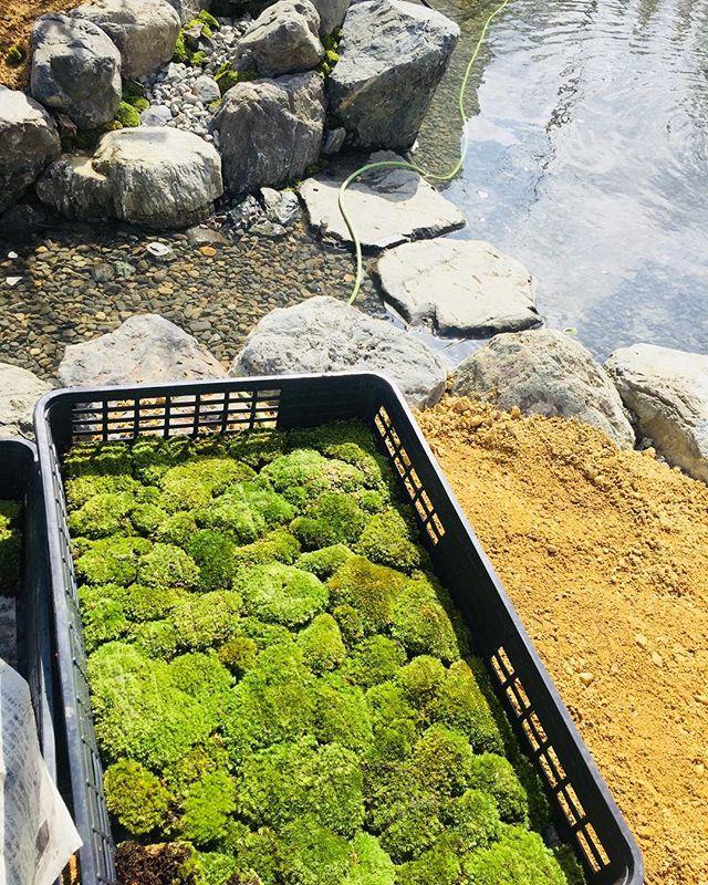 #庭づくり今日の日差しは春です。毎日少しずつ、春に向かっています。写真はビオトープのある庭の作庭風景です。#ビオトープ#山ゴケ#光葉園