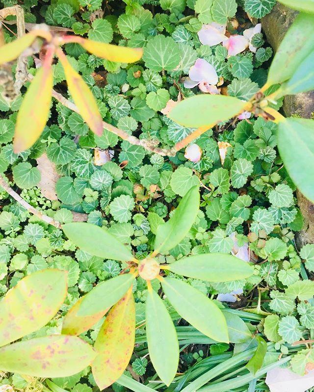 #春が始まったいつのまにシャクナゲの足元がユキノシタの絨毯になっていたり、春が始まっています。わくわく♡#ユキノシタ#石楠花#シャクナゲ#春#庭#家の庭#japaneasegarden #Saxifragastolonifera#Rhododendron