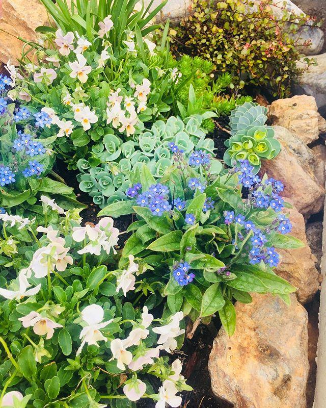 #春の庭春のお庭に欠かせない、ブルーのちっちゃな小花、わすれな草。わき役な存在だけどかかせない♡#ワスレナグサ#Nokkoの歌をくちずさんでしまう#わすれな草 #春の花壇#メデルガーデン
