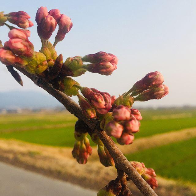 #桜前線#さくら もうすぐです️️ #山神さんの桜#春って柔らか日差しがよいなぁ#加工無し#パステルカラー#印象派#