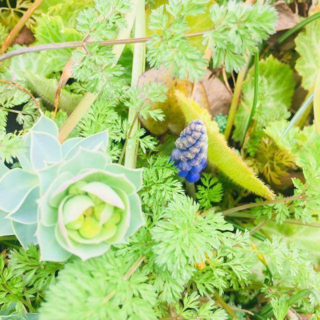 お庭の中にもムスカリがひょっこり♡庭の草花の新芽の顔出しや、初々しい色合いを見に何度も外を見に出てしまう、春♡#春の庭#ムスカリ#ユーホルビア#ミルシナイツ#オルラヤ#ユキノシタ#メデルガーデン