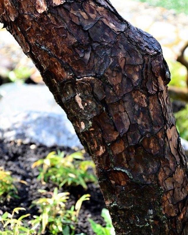 #松の木肌庭に松を植えることが少なくなった今日この頃ですが、松にしかない魅力は身近にあってこそ感じられるのだと思います。松の魅力は沢山ありますが、まずはこの木肌。渋いでしょう。#松#針葉樹#造園#光葉園#メデルガーデン#庭木の魅力を伝えます