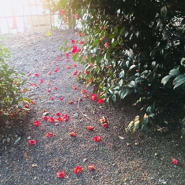 #春散歩好きです、ヤブツバキ️ #ノン加工#椿の赤は品が良いですね#日本のステキ#camellia#japanesebeauty#メデルガーデン