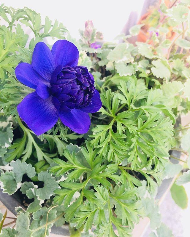 #アネモネ八重のアネモネは初めてです。深紫きというか青紫きというか、何にせよ、アネモネに夢中です。#アネモネ八重咲き#springbeauty #メデルガーデン#愛でるガーデン#ノン加工