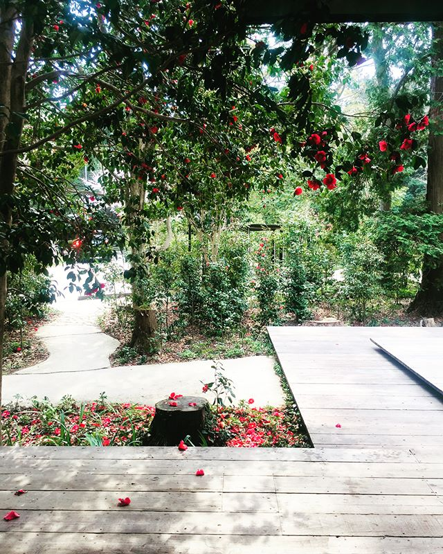 #たねや八日市の杜 手土産を買いに、近くのたねやさんへ。桜が満開な季節、ツバキもまた良いですよー。#好きですヤブツバキ#Japanese beauty#滋賀のステキなところ