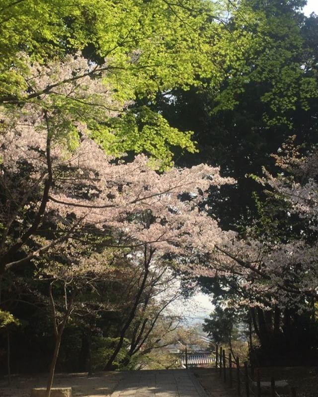 #長岡京市京都の桜はもう葉桜で風が吹くたび花吹雪が美しいです。もみじと桜が美しい、光明寺さん。#今年の桜ははやかったー#京都旅#春の京都