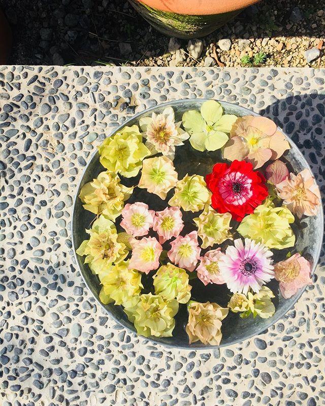 #ヘレボルスオリエンタリス 日陰でこっそり次々と咲かせる春の花、レンテンローズ早めに花を摘み取るのも、株に負担をかけないコツです。摘み取ったあとのお楽しみ♡#アフターガーデニング#春の花#レンテンローズ#ヘレボラス#クリスマスローズ#helleborus#メデルガーデン#光葉園