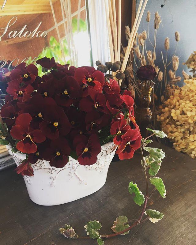 #ビオラを摘んで今朝は水やりついでに伸びすぎた草花を剪定しました。ビオラを思いっきりばっさり。お部屋に飾るとビオラのステキな香りが漂っています♡#アフターガーデニング#春の花#ビオラ#ベルベット#バーガンディー#メデルガーデン#光葉園