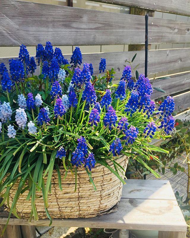 #ムスカリぎゅぎゅっと、ムスカリの寄せ植え♡♡♡ #バスケットに春の寄せ植え#ミニバラとムスカリの寄せ植え#寄せて植えてから三年目の春#育てやすい春の寄せ植え#春色#muscari #メデルガーデン#光葉園