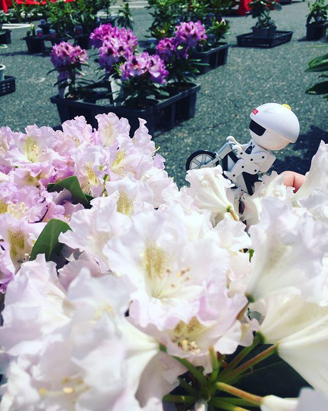 #シャクナゲ鑑賞会暑い日になりました。村田製作所野洲事業所さんでシャクナゲの販売致しております。シャクナゲのウォークラリーも素晴らしいですよー♡#シャクナゲ#春のイベント#光葉園