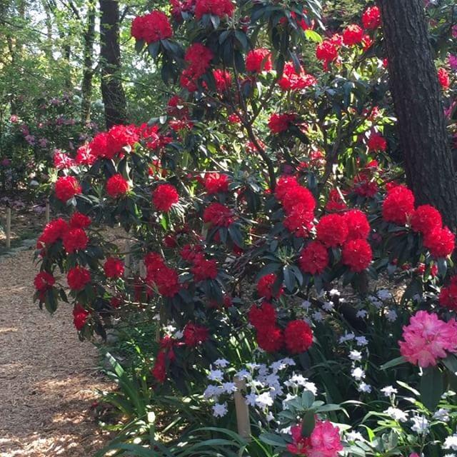 #シャクナゲ園八日市にある村田製作所さんではシャクナゲ園を一般公開されています。豪華なシャクナゲが見頃を迎えていましたよ。#シャクナゲ#春のイベント