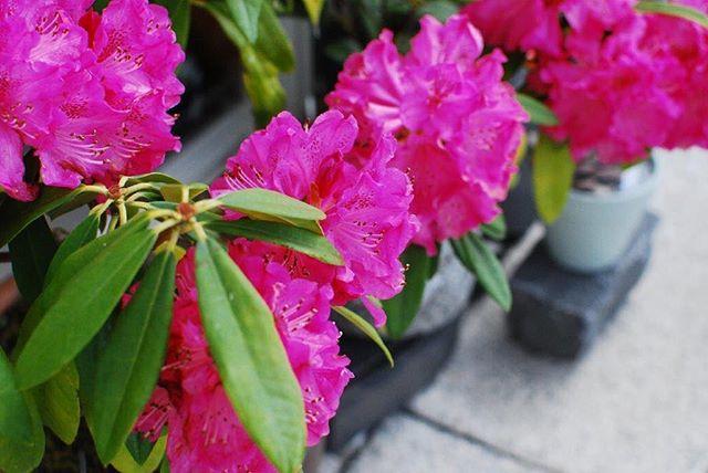 #西洋シャクナゲ色鮮やかでしょー♡もちろん加工なしです。ショッキングピンクのこのシャクナゲは、太陽という品種。西洋シャクナゲのなかでも育出やすい子です。N IKON D60で撮影#シャクナゲ#滋賀県の花#シャクナゲ会#シャクナゲ太陽#春の花木#常緑低木樹#メデルガーデン#光葉園