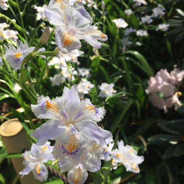 #春シャクナゲの足元を爽やかに彩っていたシャガの花。素晴らしい季節です。#シャガ#シャクナゲ#フジ棚#日陰の植物#宿根草#春の花#メデルガーデン#光葉園