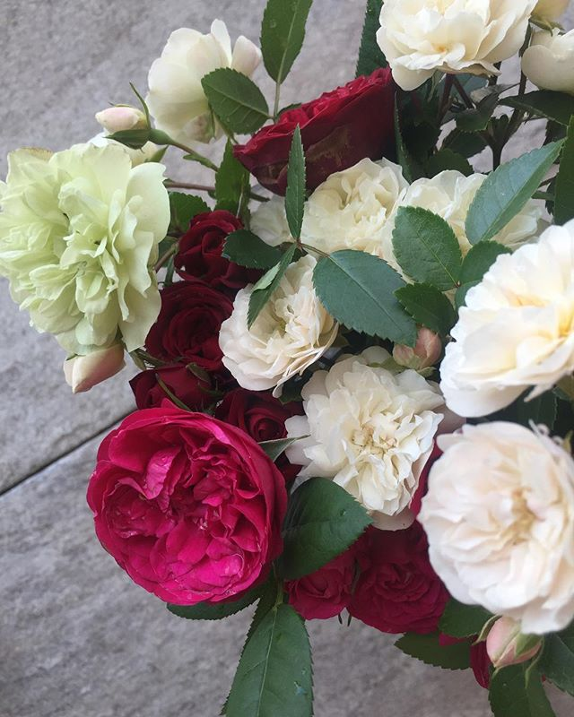 #ミニバラバーガンディーな赤紫みたいな色のミニバラも咲きました。ミニバラグリーンアイスとあわせて♡ざくざく摘んでも毎日開花する喜び♡ミニバラは楽しい小さいけれど、ちゃんと立派にバラをやっているミニバラさん。美しい#ミニバラ #バーガンディー#ミニバラグリーンアイス#バラ色の日々#メデルガーデン