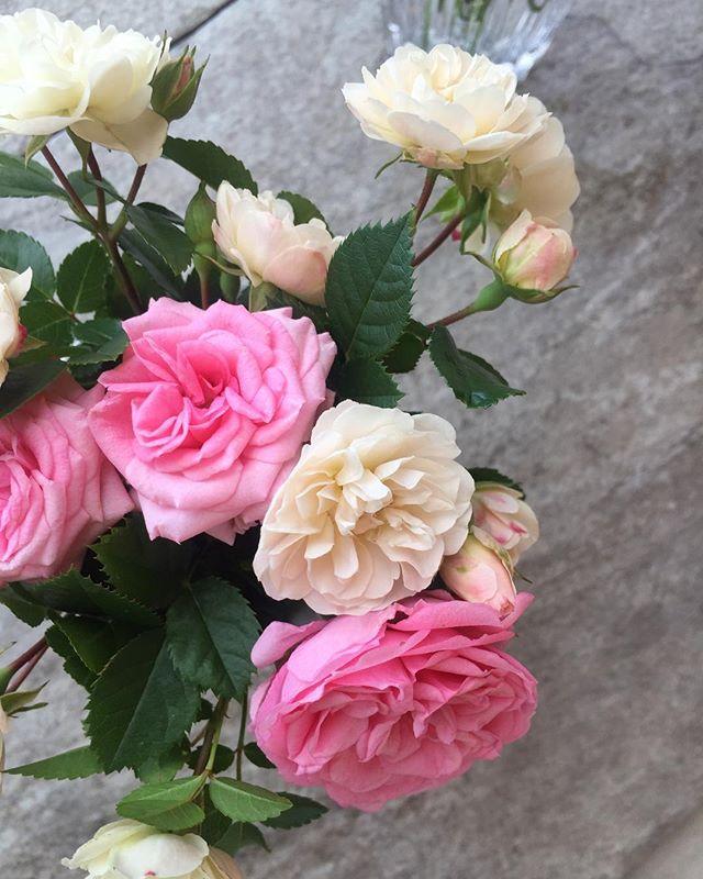 #ミニバラコットンキャンディカラーの乙女なピンクのミニバラといつものミニバラグリーンアイスミニバラって本当に育てやすいから大好きです。今度、ミニバラをハンギングの寄せ植えにしてみようかしら♡#バラ色の日々#ピンク#白#ミニバラ#rose#メデルガーデン