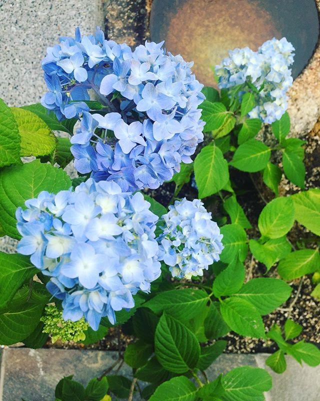 #庭づくり去年からご提案させていただいている、お庭づくりもすこしずつ進んでいます。水鉢にアジサイを添えて#庭#紫陽花#アジサイ#メデルガーデン#造園#光葉園