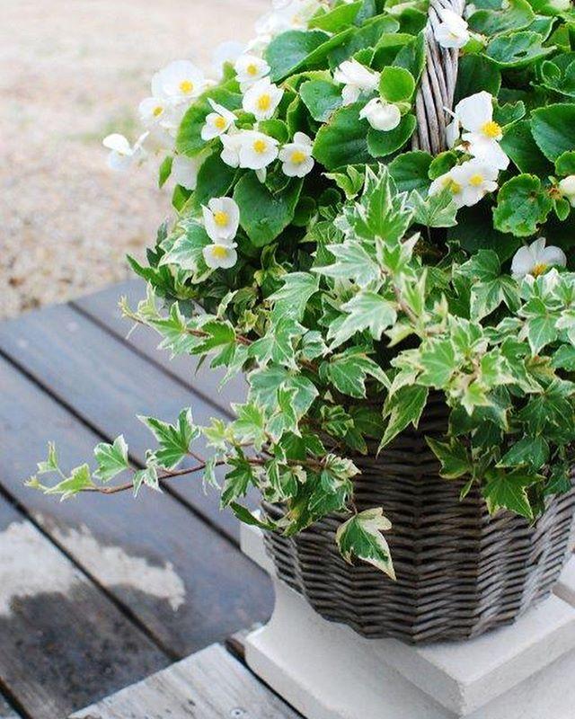 #ベゴニア去年の今頃に作った、ベゴニアとアイビーの寄せ植えバスケットです。バスケットも色褪せてそれがまた良い感じになったんです。寒い冬を越えて、株を大きくして、また今年も花を咲かせてくれています。久々にブログアップしました。#光葉園#日々のこと#ベゴニアバスケット#夏の寄せ植えhttp://mederu-garden.com/daiary#メデルガーデン