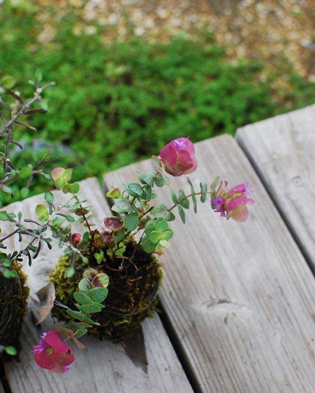 #オレガノケントビューティー秋に作ったオレガノケントビューティの苔玉。雨☂️に打たれて気持ちいい。苔玉の苔、今年はたくさんのだんご虫が苔を食べにやってきます。なぜ?だんご虫って苔好きだったなんて。#苔玉#ハーブ#メデルガーデン