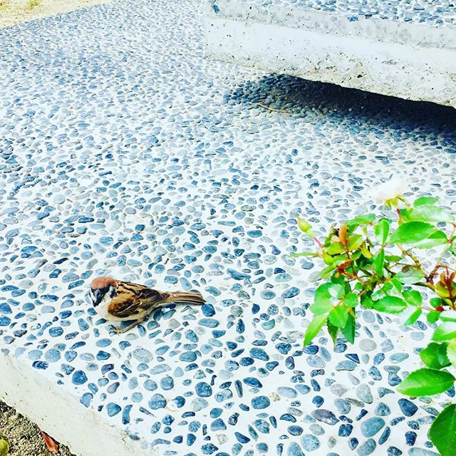 #すずめ今朝はすずめがポーチにずっといて、近づいても飛ばなくて。きっとまだ若いのかな?かとおもえば、ヘビが事務所に乱入してきたり!#大自然!#巣立ちの頃#6月#june #ミニバラ#メデルガーデン