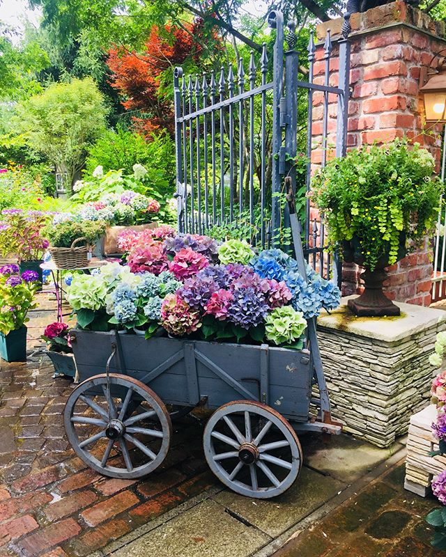 #秋色紫陽花今日は米原にあるローザンベリーさんへ来ています。楽しみにしていた♡アキイロ紫陽花の育て方のレッスン。まもなく始まります。先生もステキな方♡園内にはアキイロ紫陽花がたっぷりと♡全てがわくわく♡#紫陽花の季節#ステキな時間#レッスン##