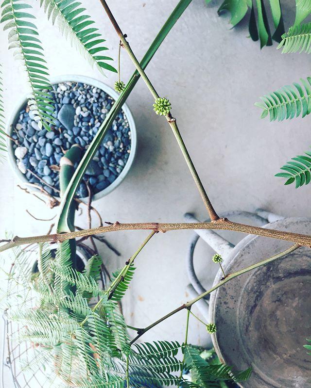 #エバーフレッシュエバーフレッシュのツボミが、いつも可愛いので写真を撮りたくなってしまいます。定期的に花を咲かせます。それから、お店にもう一つ欲しいなぁと検討中です。#インドアグリーン#メデルガーデン
