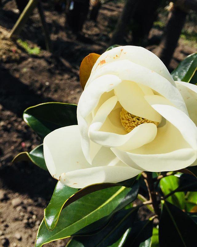 #気になる木#An interesting treeタイサンボクリトルジェムが季節外れに咲いていました。大木になるタイサンボクは花が高い位置で咲いてしまうのでなかなかその美しさ、芳香が遠く、ある意味高嶺の花なのですが、リトルジェムはコンパクト❣️近くで花を愛でられる︎ #おすすめの木#常緑樹#メデルガーデン