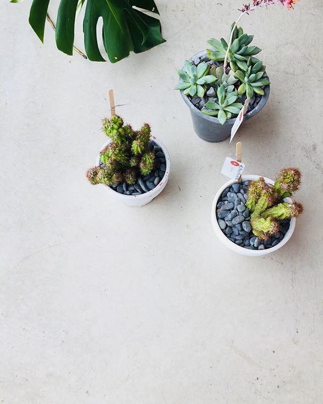 #サボテンいい味が出てきたサボテン#ここここ日和 さんにて販売中#cactus#mederugarden