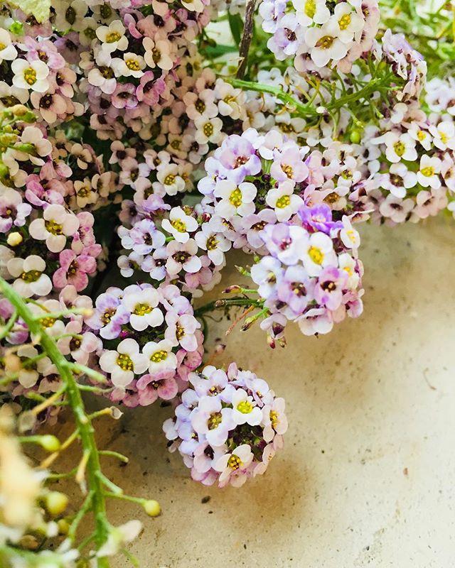 #アリッサム春の花だと思い込んでいたのですが、こぼれた種から咲いたアリッサムは強くて、夏も、秋も、今も咲いています。#autumn #Garden#Lobularia maritima#Alyssum#SweetAlyssum#春の庭の仕込みをはじめなくちゃ#愛おしい花#メデルガーデン