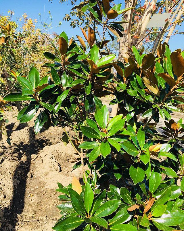 #タイサンボクリトルジェム タイサンボクリトルジェム、葉の裏は茶色くマット、表面は光沢のある美しい葉です。ドライでも楽しめる︎今人気のオージープランツとの相性もバッチリじゃないかしら︎ #オージープランツガーデン#メデルガーデン#気になる木#おすすめの木