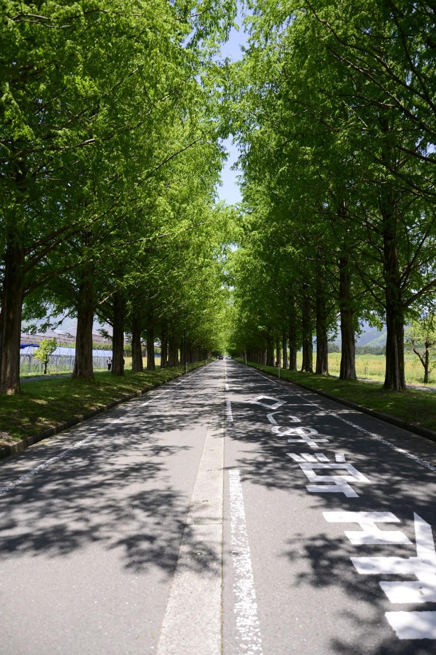 マキノ高原メタセコイヤ並木道路