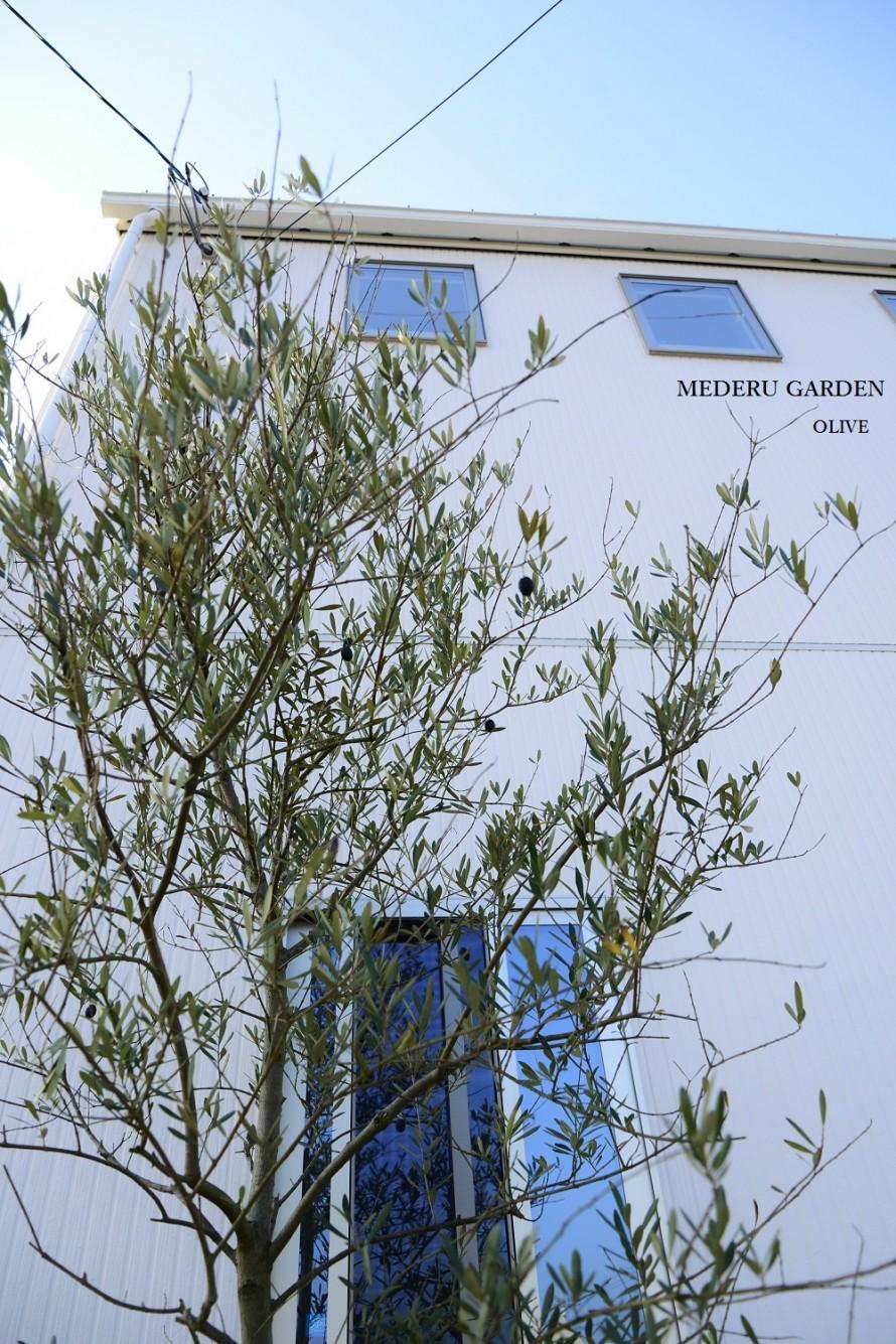 オリーブの木 シンボルツリー