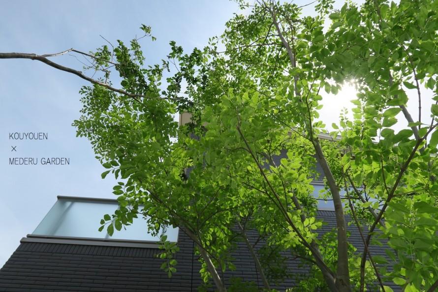 シマトネリコとアオダモの木のアーチ