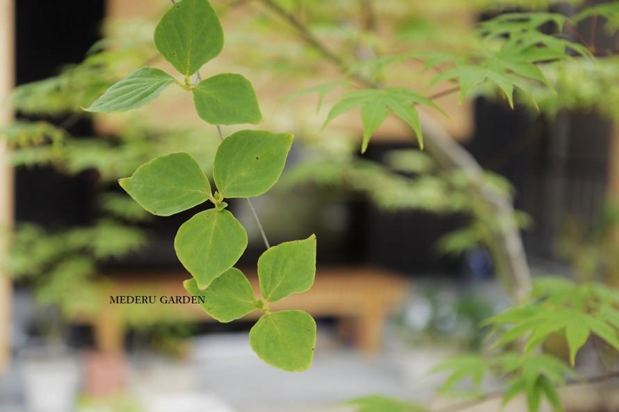 ミツバツツジの葉