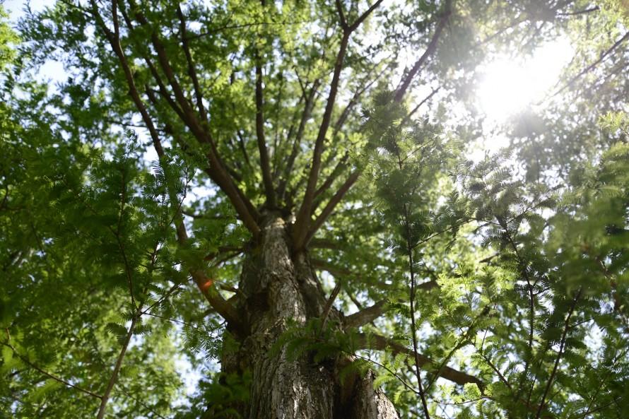 メタセコイヤの木の下から