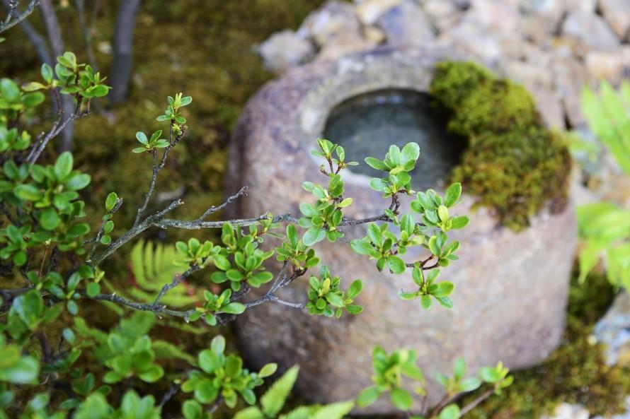 サツキツツジと水鉢