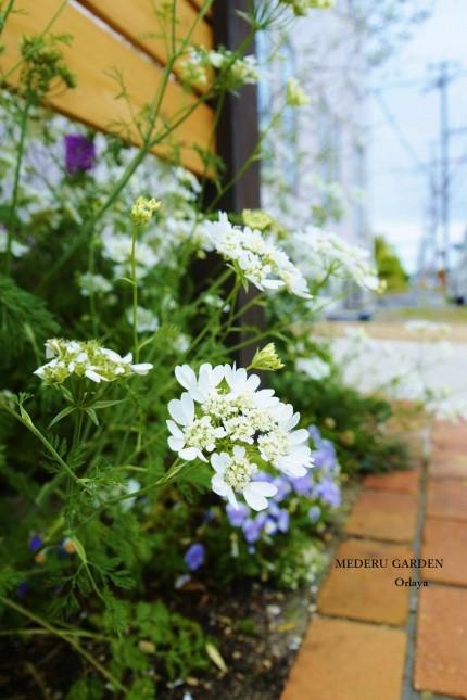Orlaya grandiflora 'White Lace'